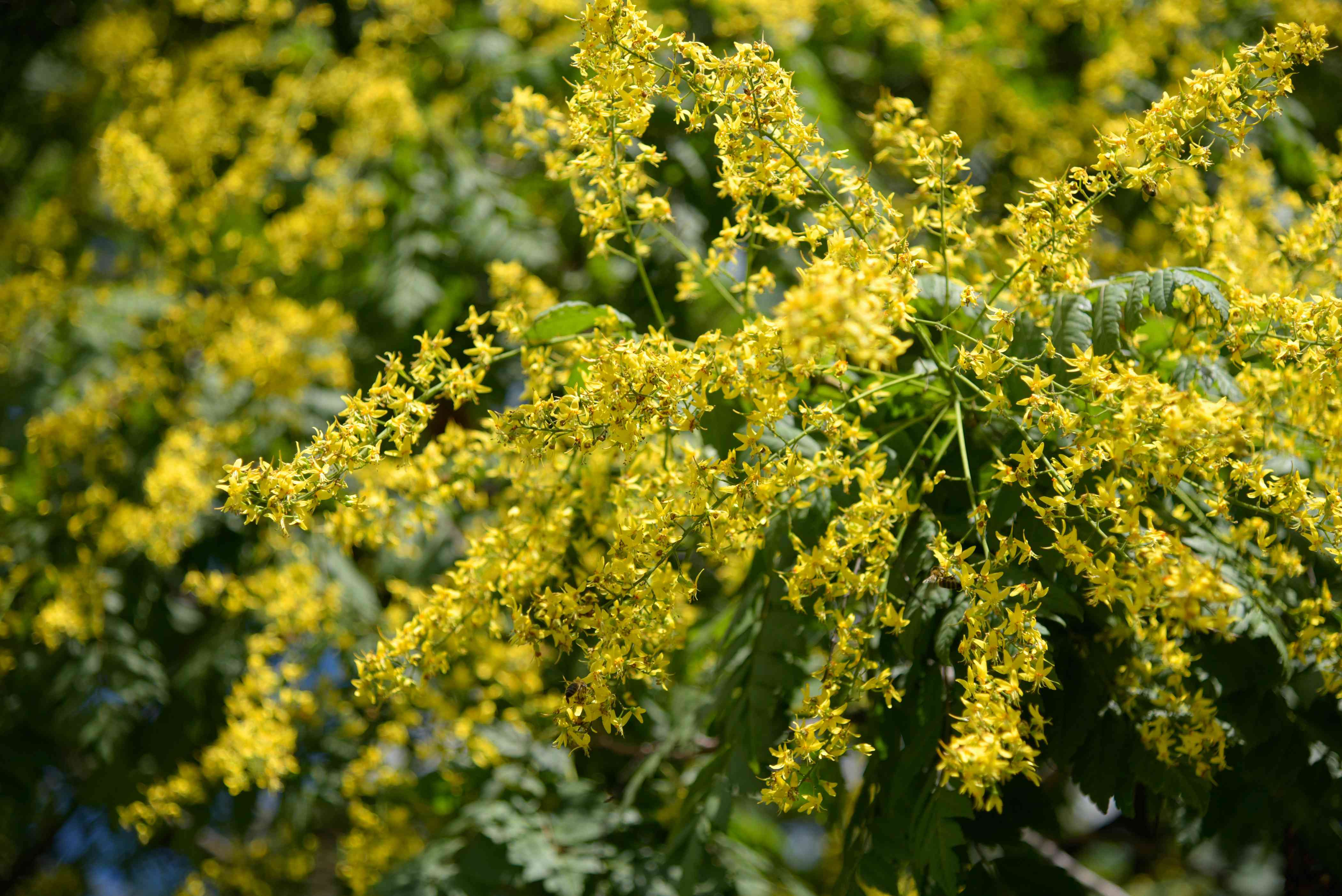 Chinese flame tree branch with small yellow flowers clustered on thin stems closeup