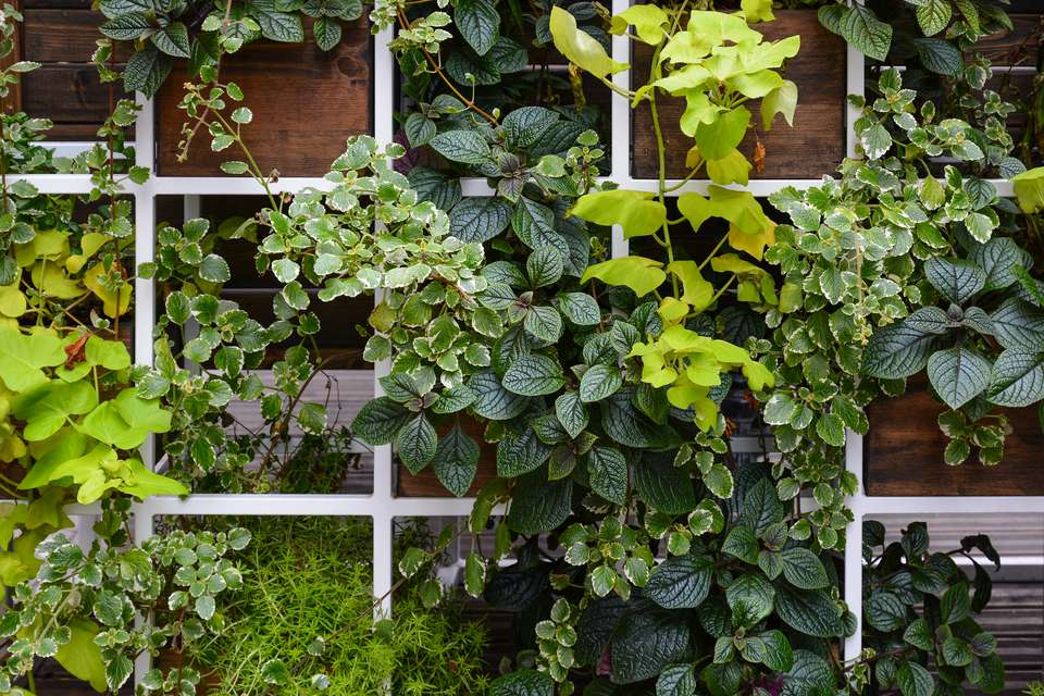 A decorate wall, trellis of leafy plants including Plectranthus, ivy, and asparagus.