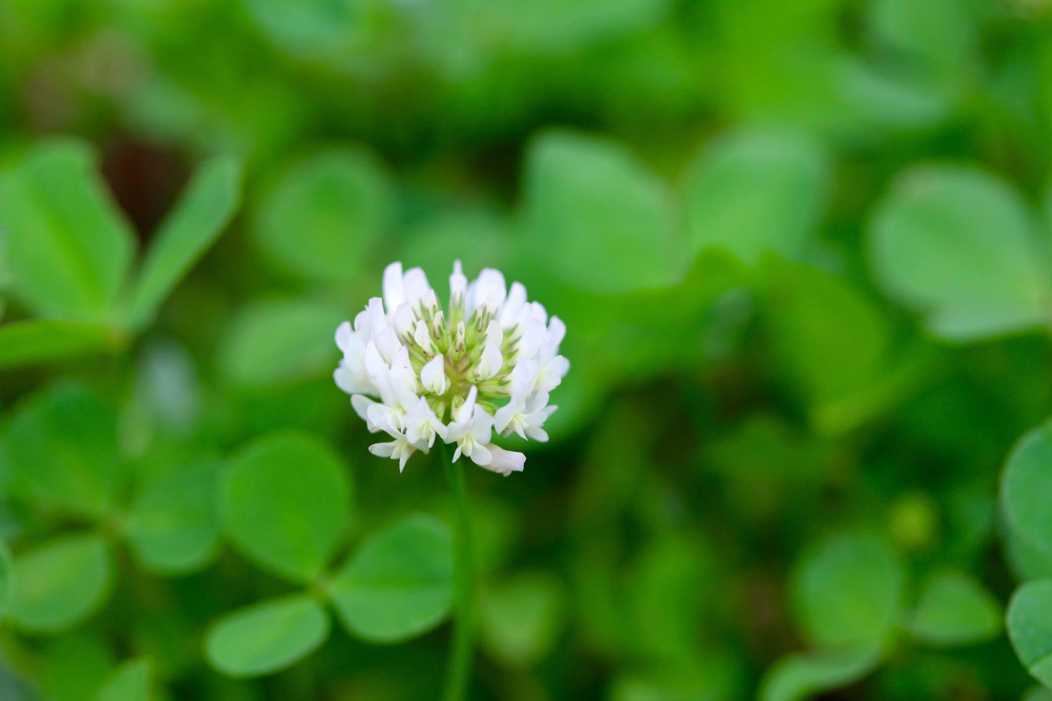 Trébol blanco en flor