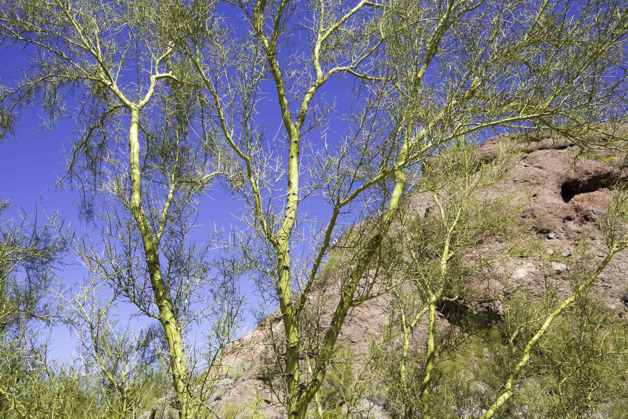 Foothill palo verde (Cercidium microphyllum)