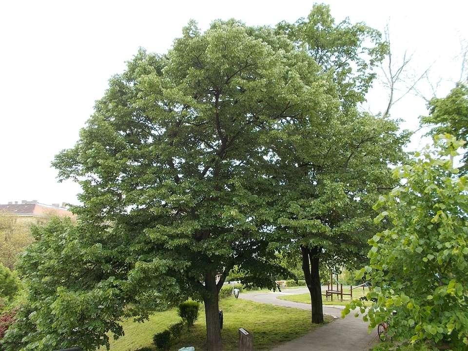 Silver Linden tree (Tilia tomentosa)