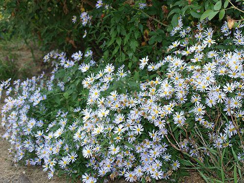 Butterfly flowers for shade gardens mightylinksfo