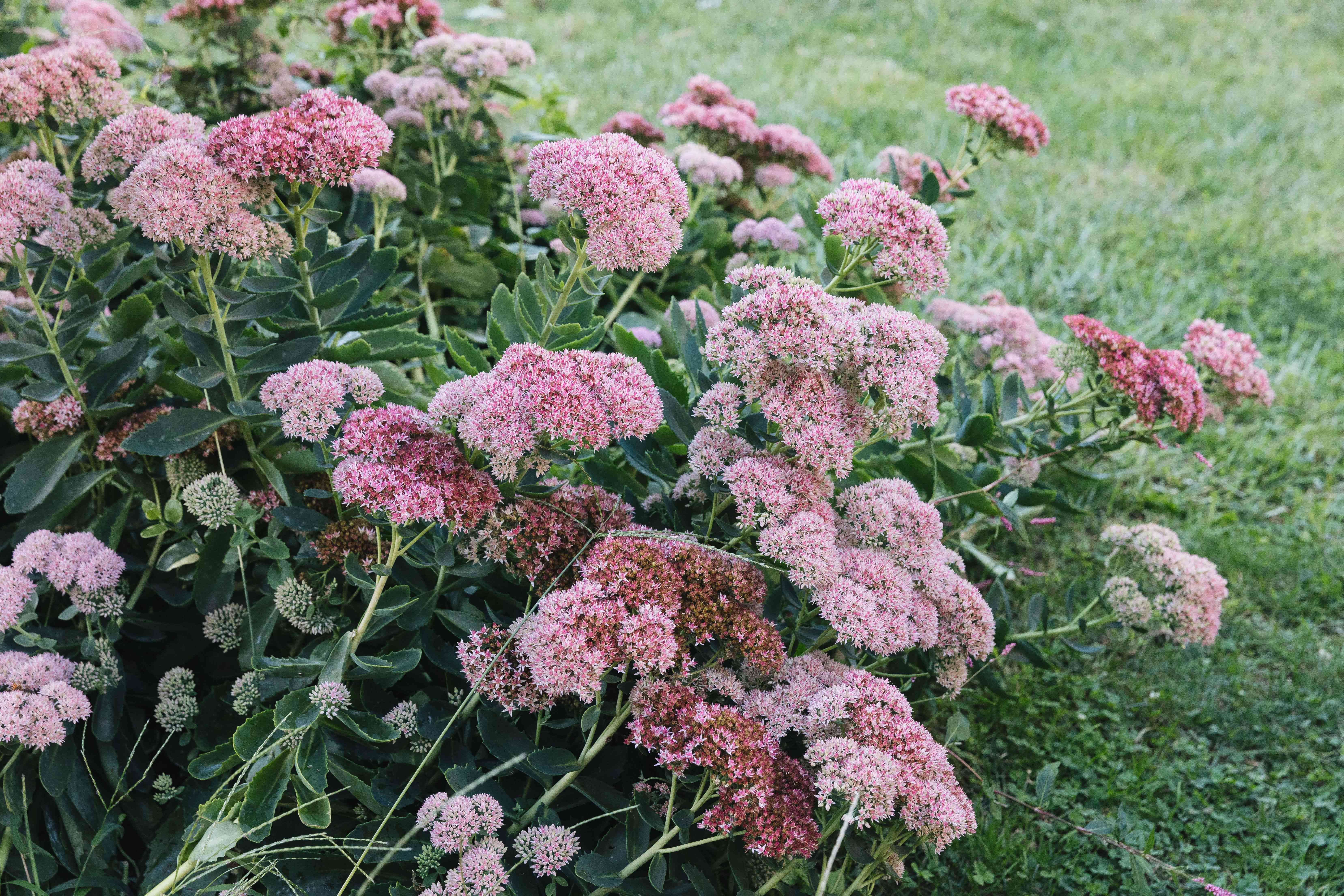 Autumn joy stonecrop plant with light pink flattened flower clusters on tall stems