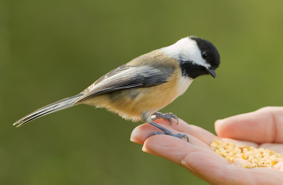 Black-capped Chickadee eating birdseed from hand