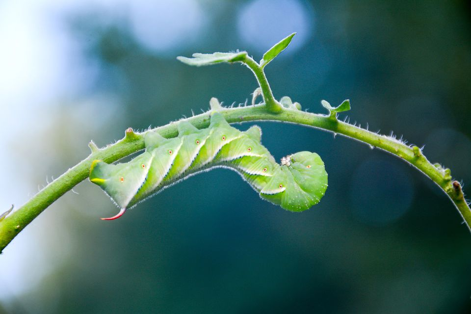 A Tomato Hornworms hanging upside down defies gravity