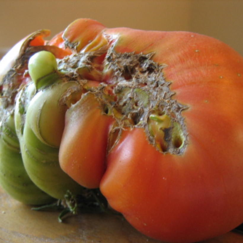 How to Identify, Treat, and Prevent Catfacing on Tomatoes and Strawberries