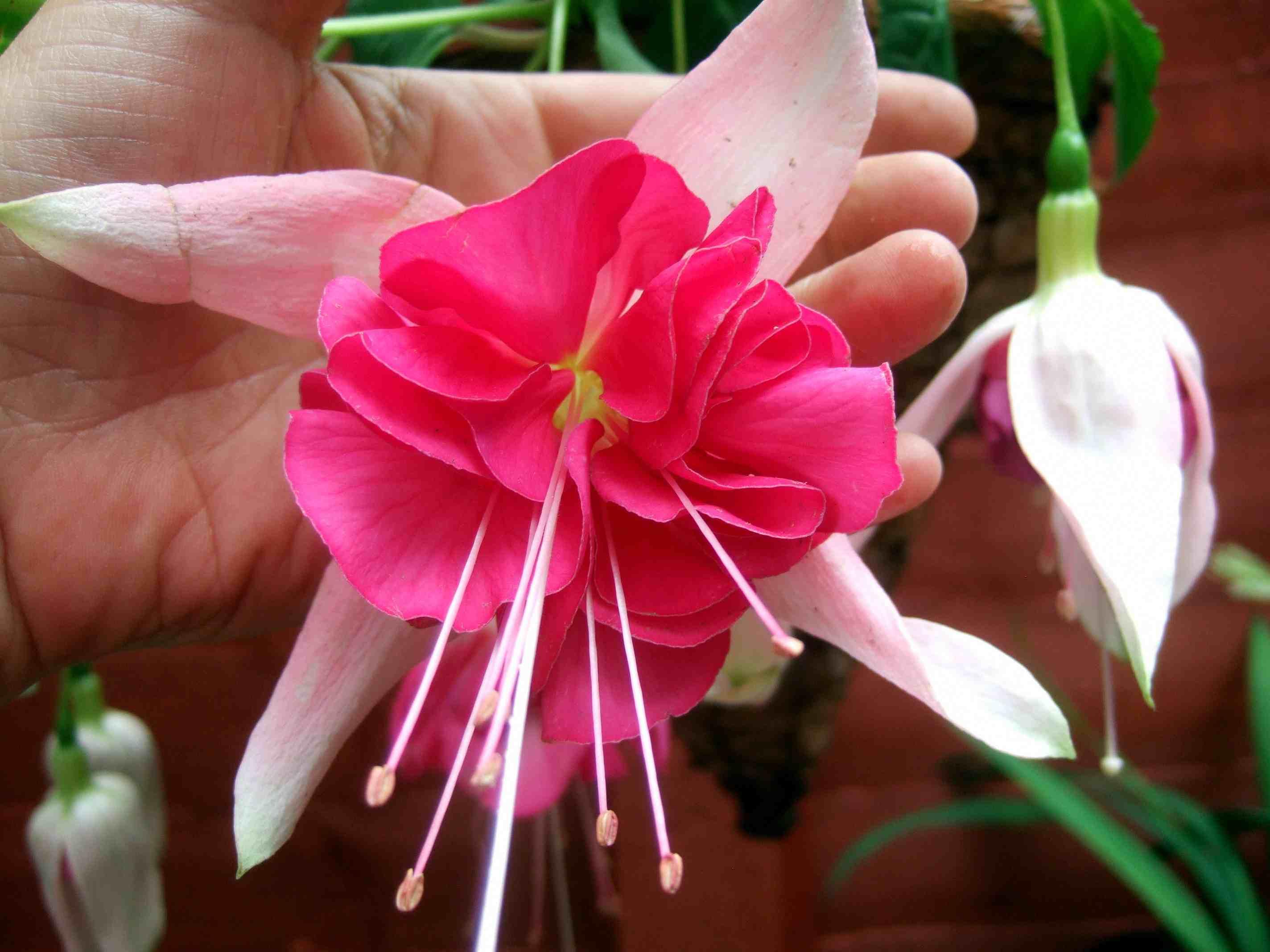 Top Fuchsia Varieties