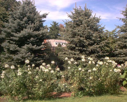 Picture of white cleome flowers.