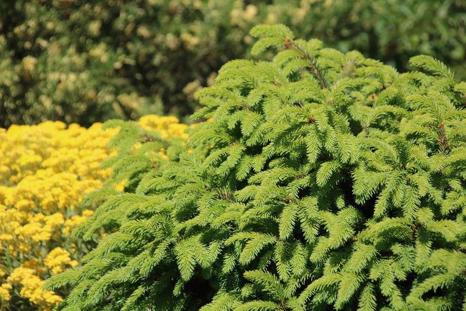 bird's nest spruce shrub
