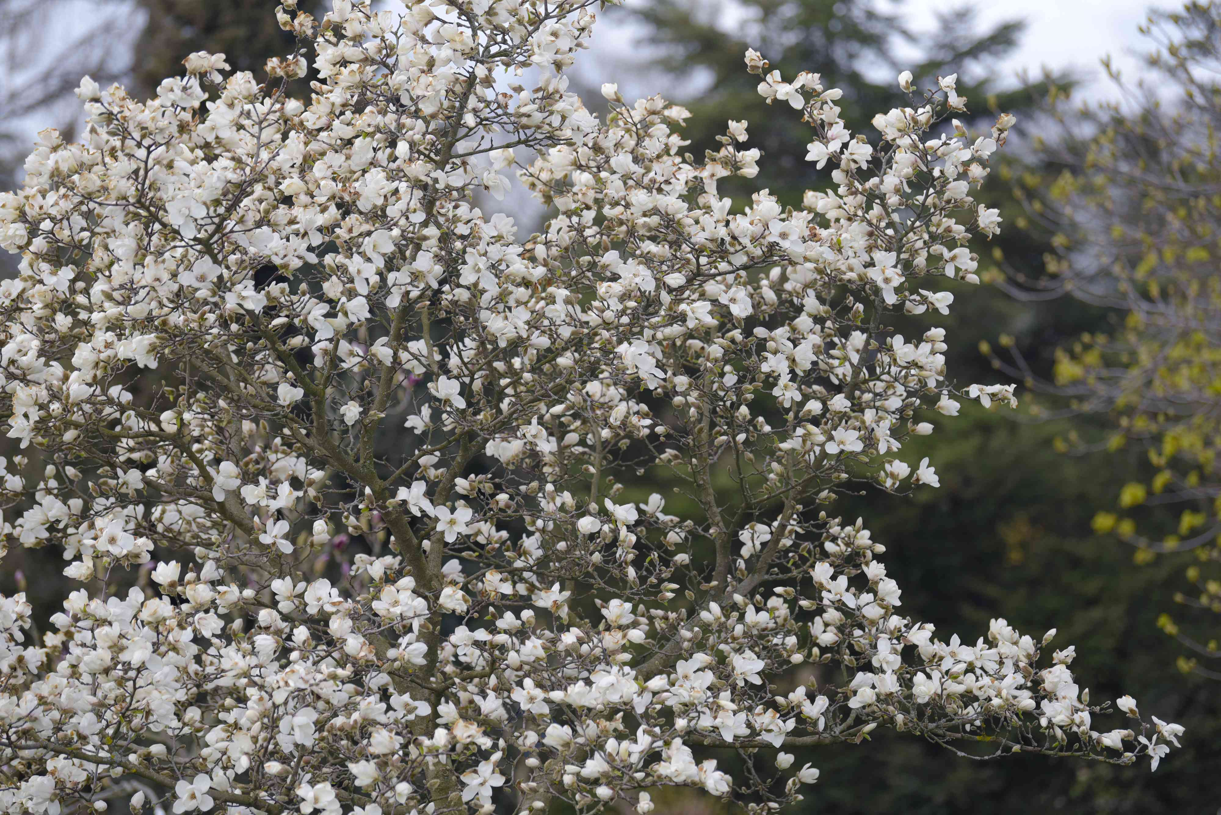 Kobus magnolia tree top with white flowers covering branches