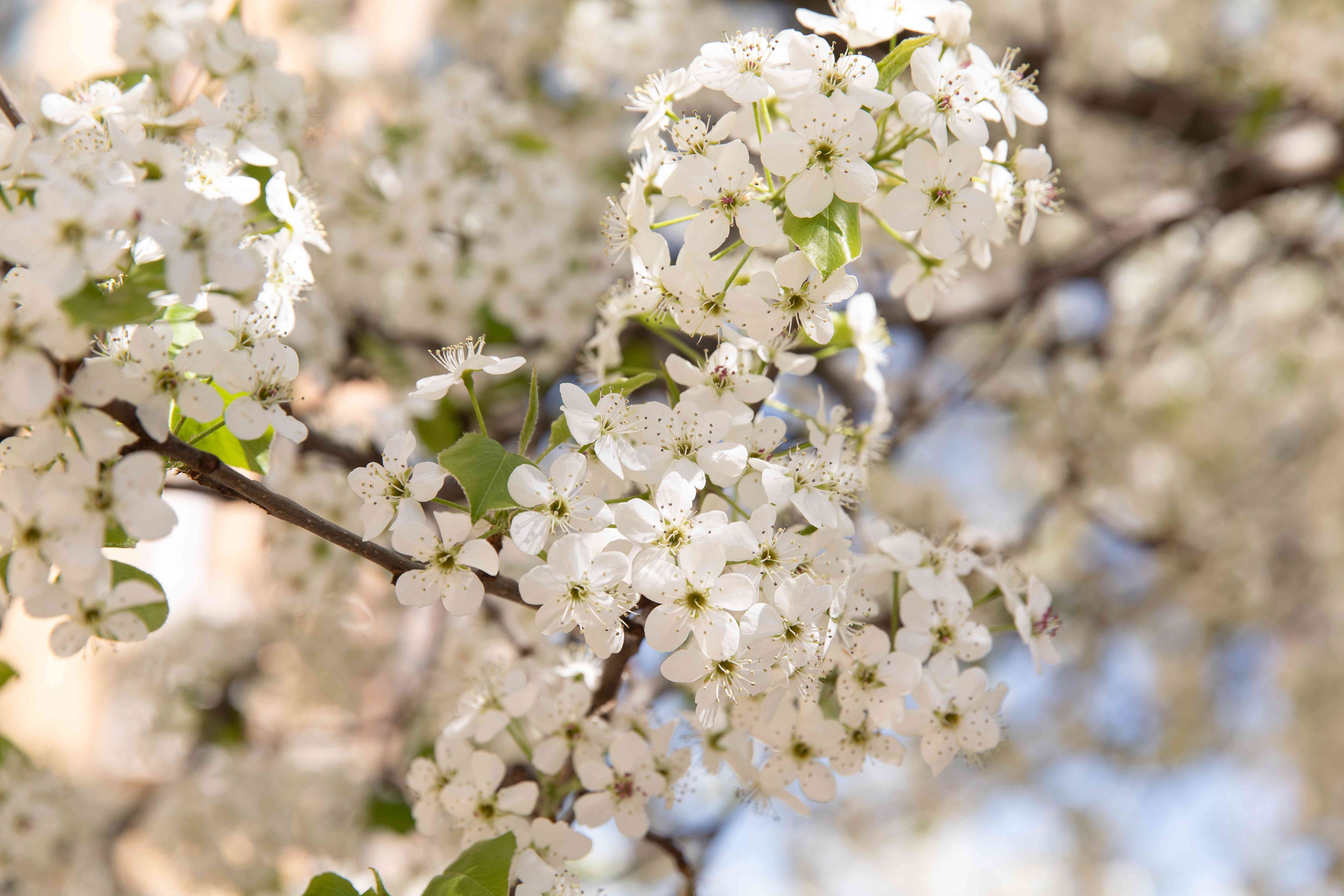 Calley pear tree blossoms with small white flowers closeup
