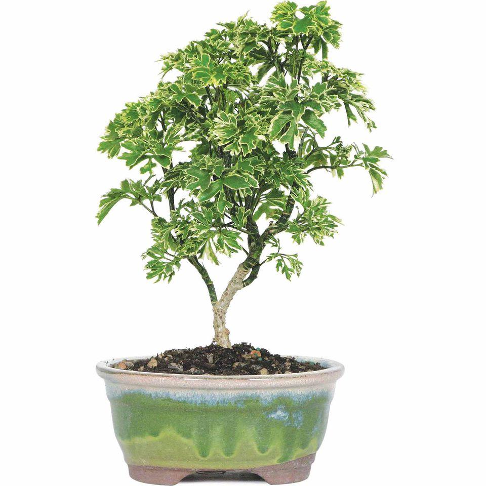 Ming aralia tree