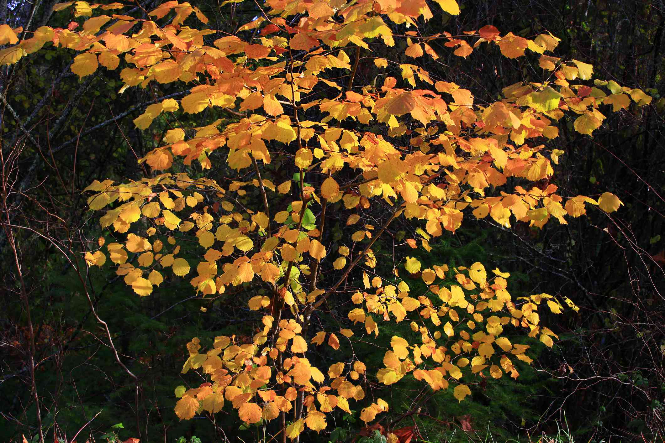 Beaked hazelnut (Corylus cornuta) shrub in the autumn with orange folaige.