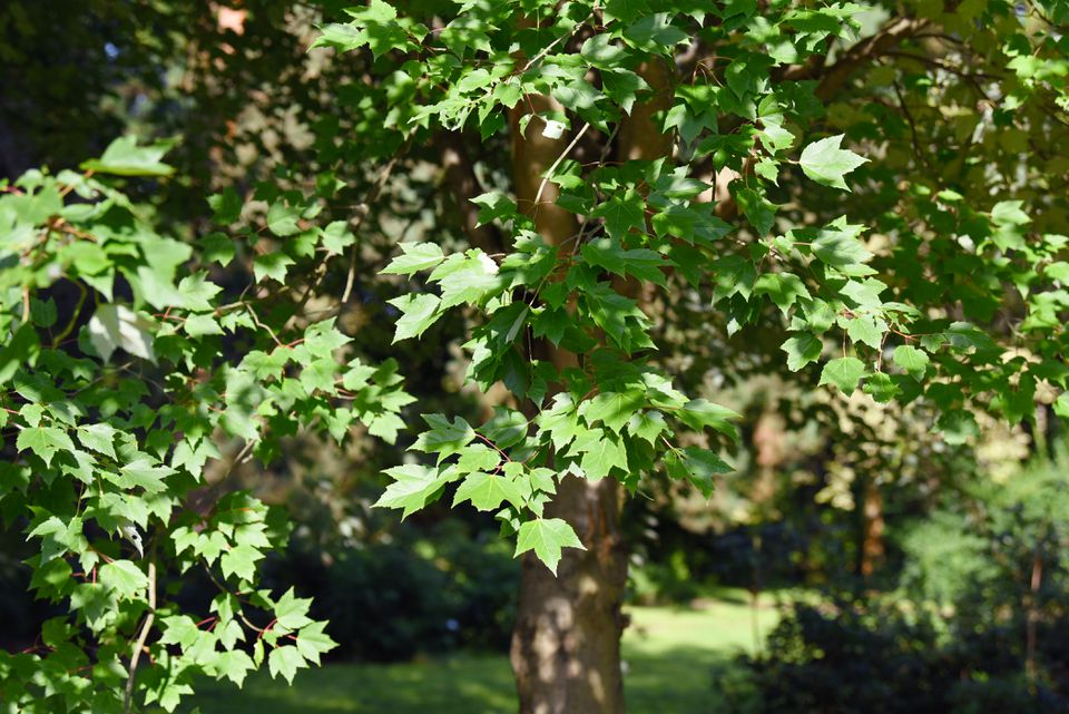 Red sunset maple tree branches with green three-lobed leaves in sunlight