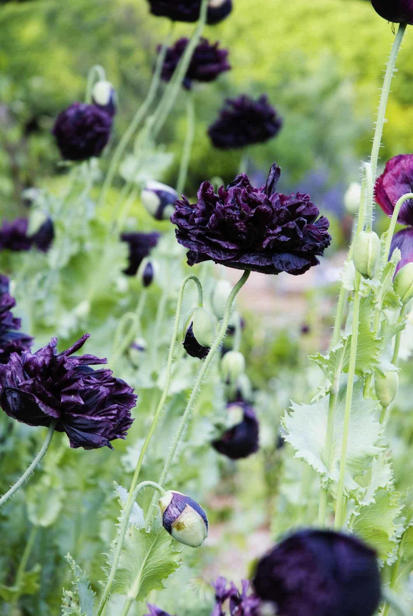 14 beautiful garden poppies mightylinksfo