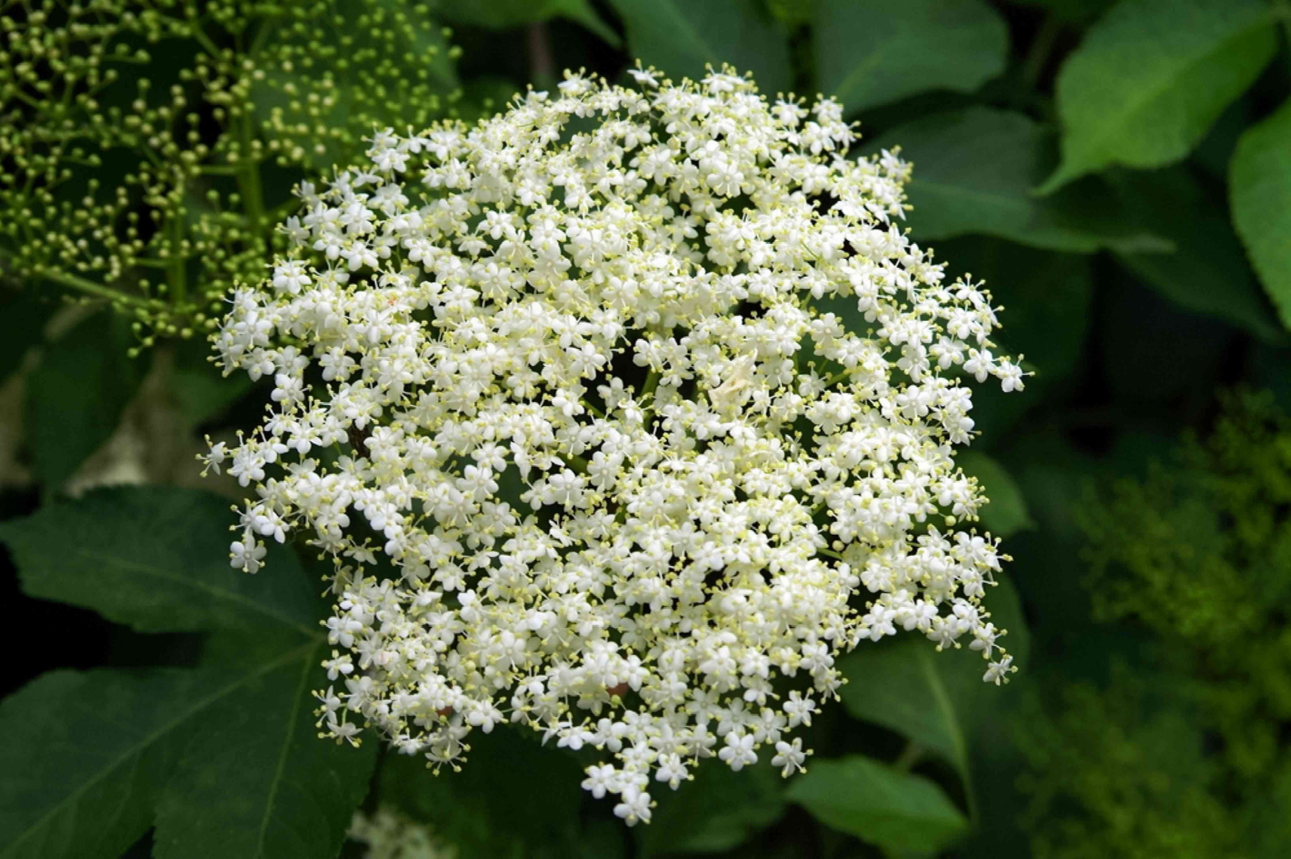 Common elderberry plant bright white flowers clustered together closeup