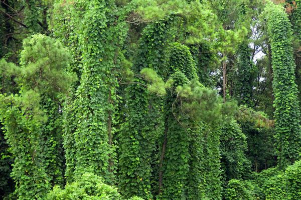 Invasive kudzu vine covering the ground and trees in southern Alabama