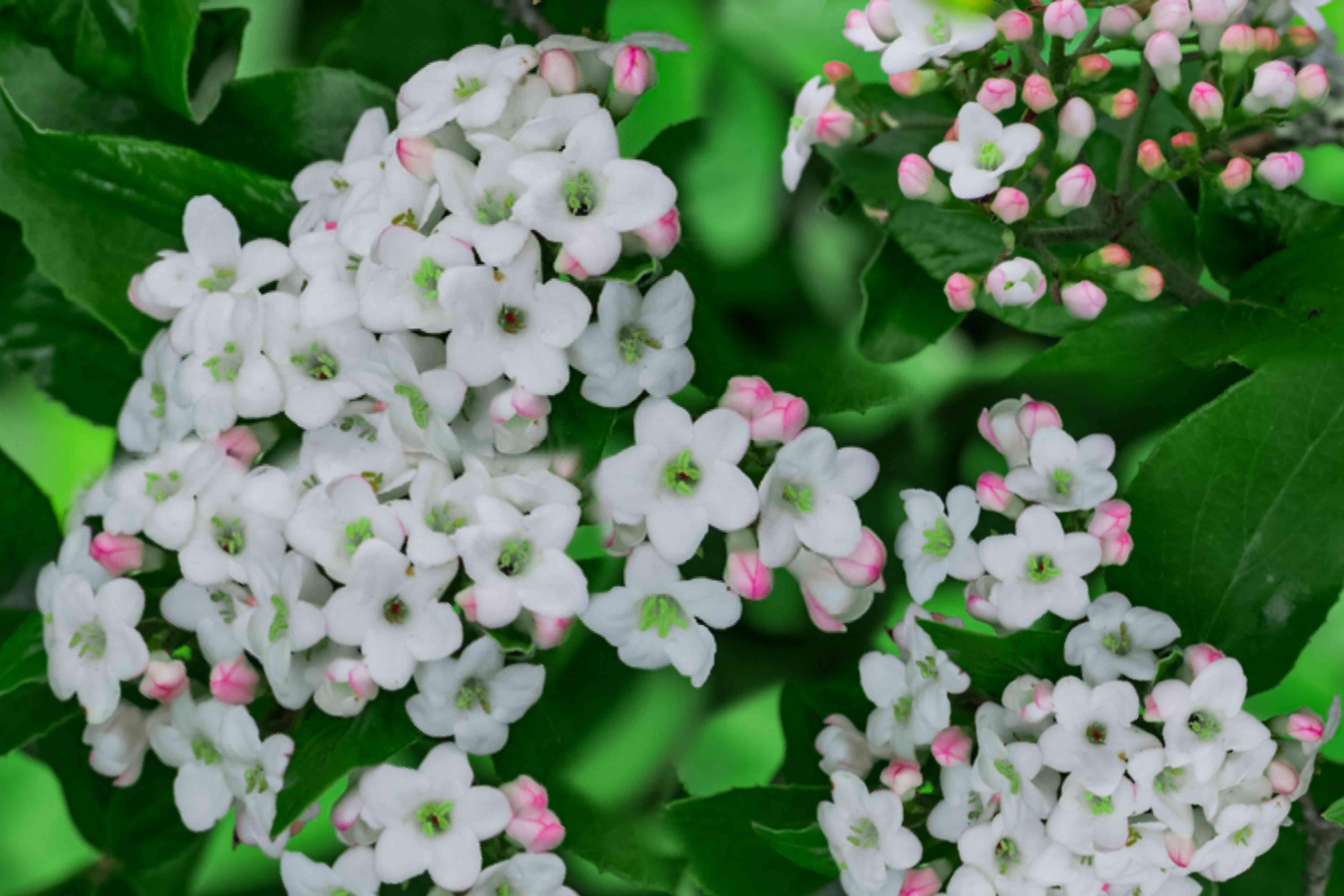 viburnum shrub detail