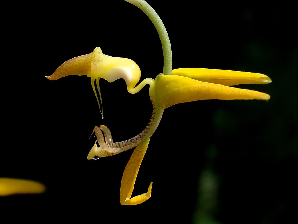 Tips On Growing Gongora Orchids Plants