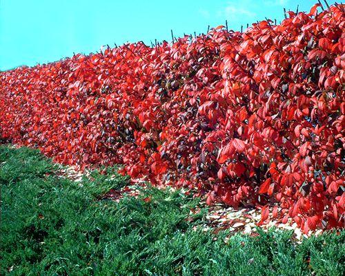 Photo of burning bush hedge.