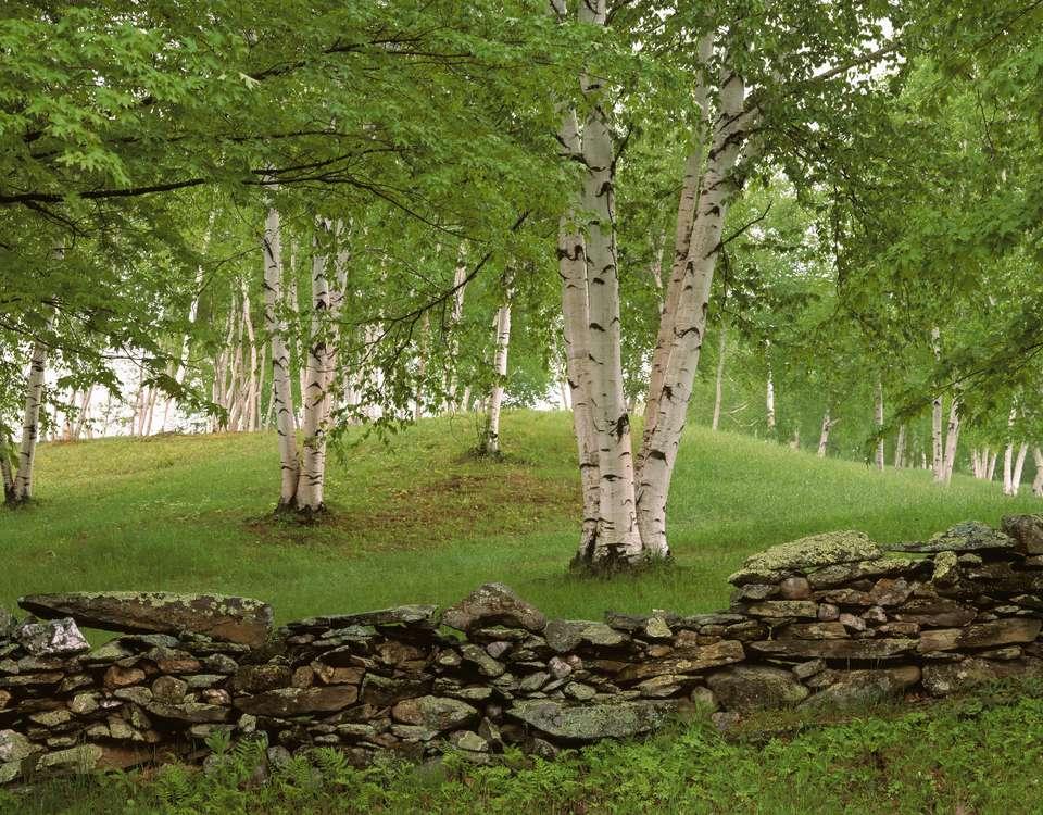 White Birch Trees