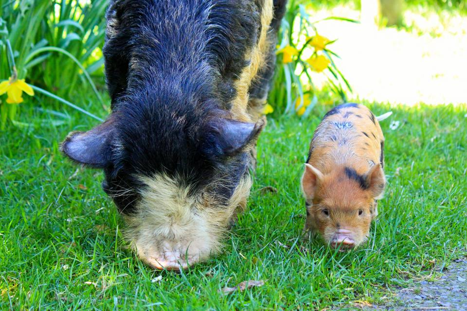 Kunekune pigs grazing on grass.