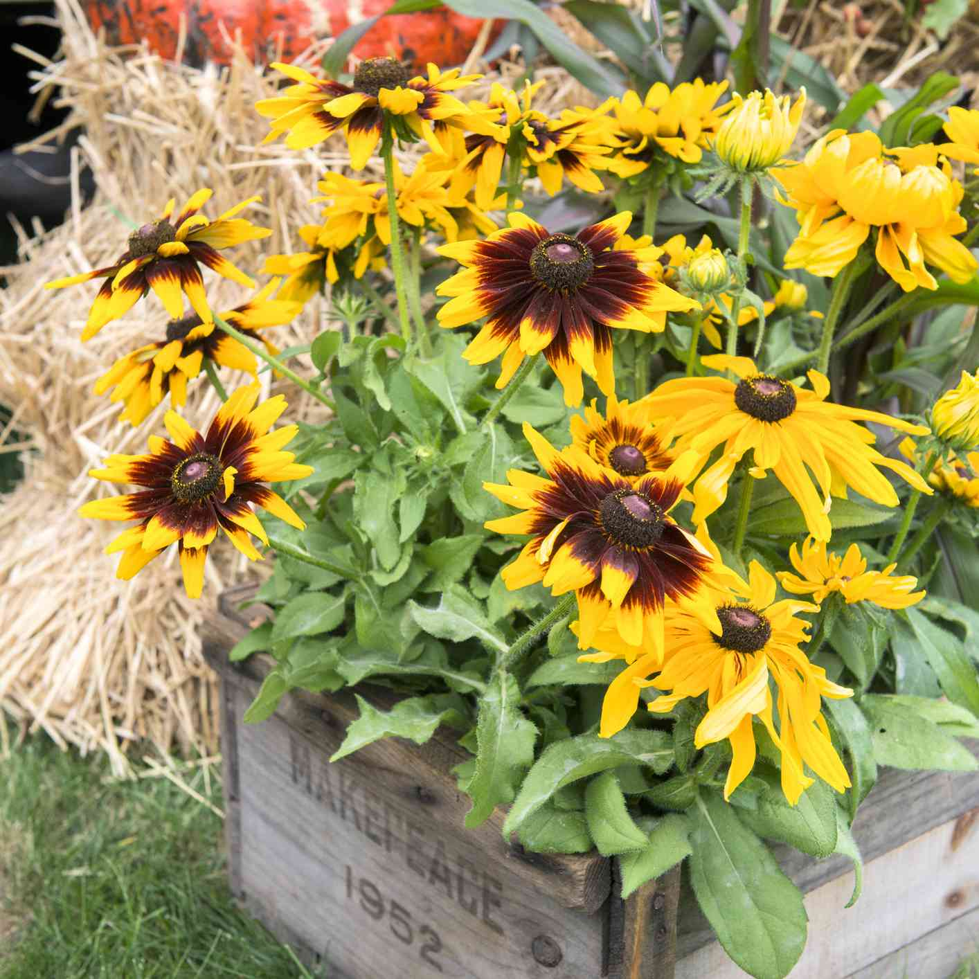 Black eyed susan container
