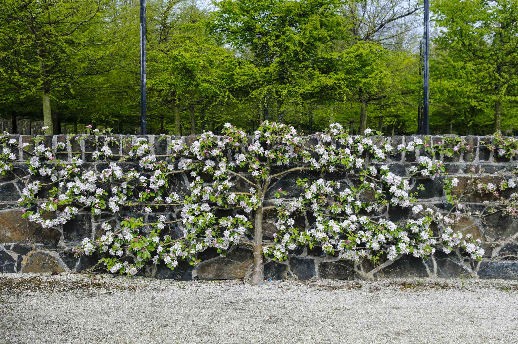 Espalier of an apple tree against a stone wall.