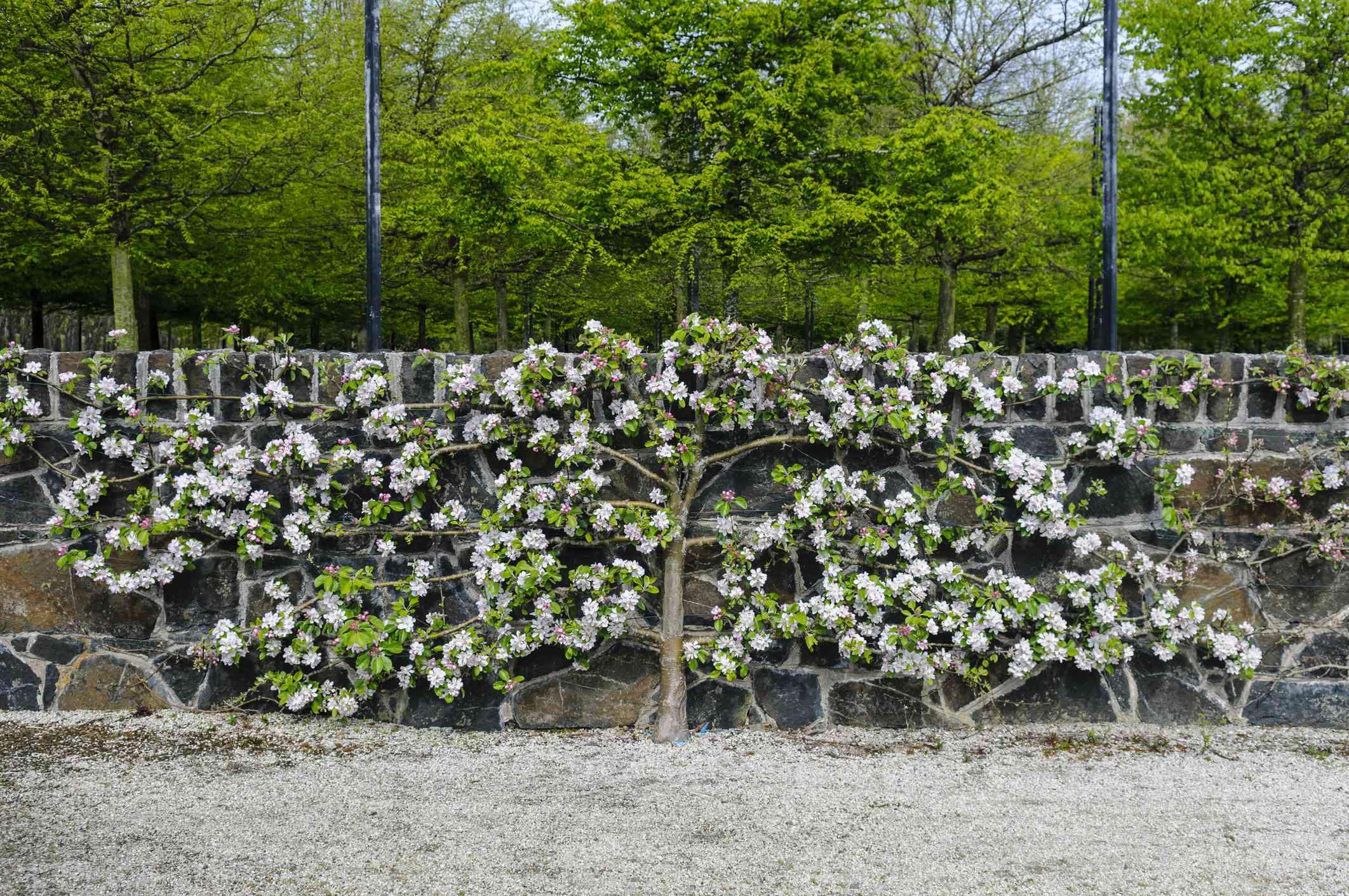 Espalier de un manzano contra un muro de piedra