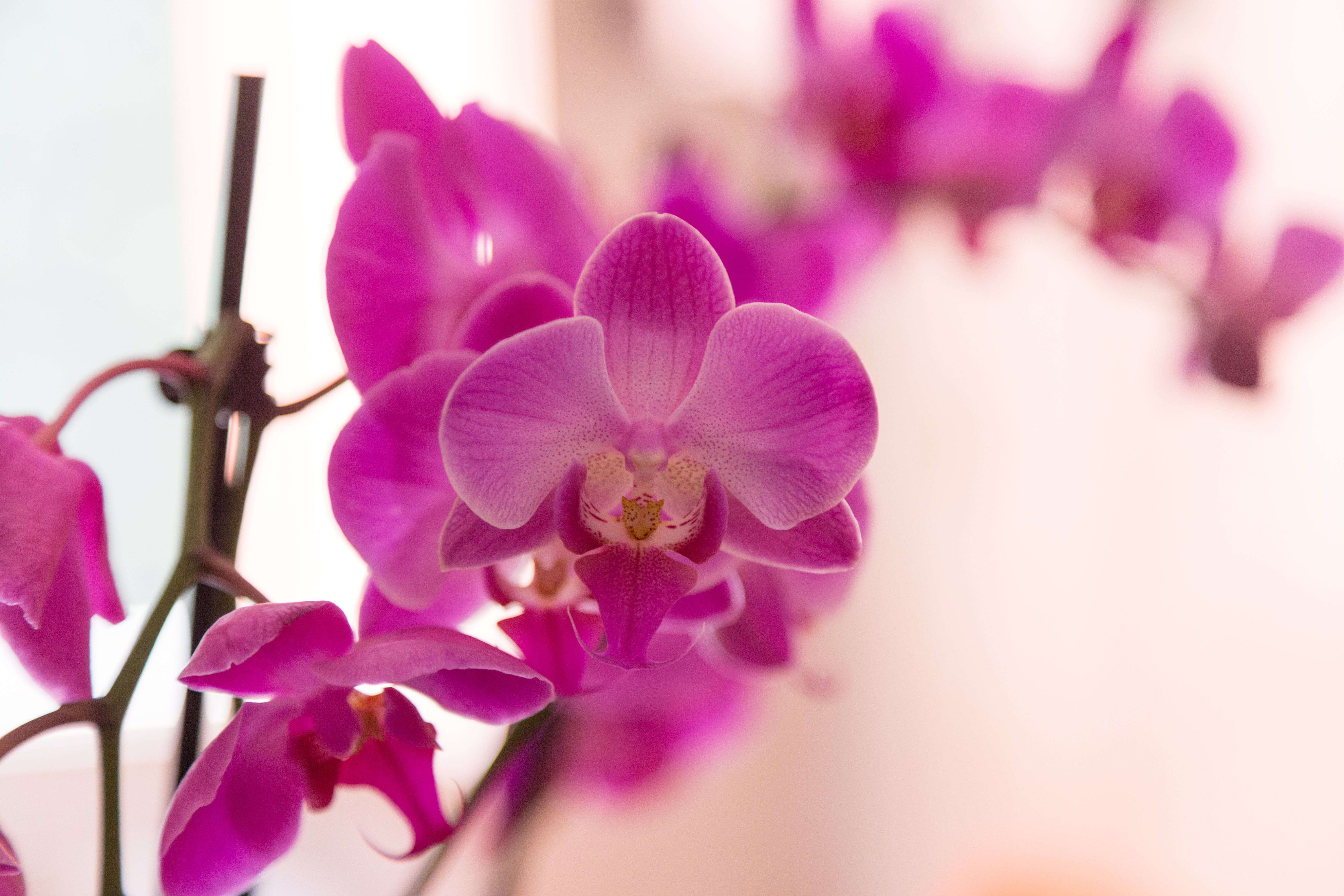 How To Get Phalaenopsis Orchid To Bloom Again