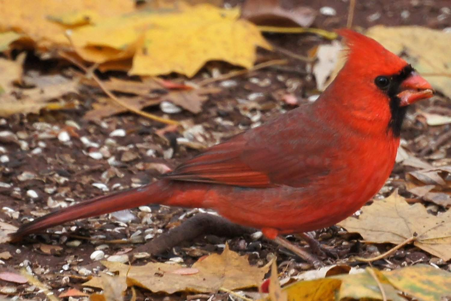 Northern Cardinal, the state bird of North Carolina, standing near leaves on the ground.