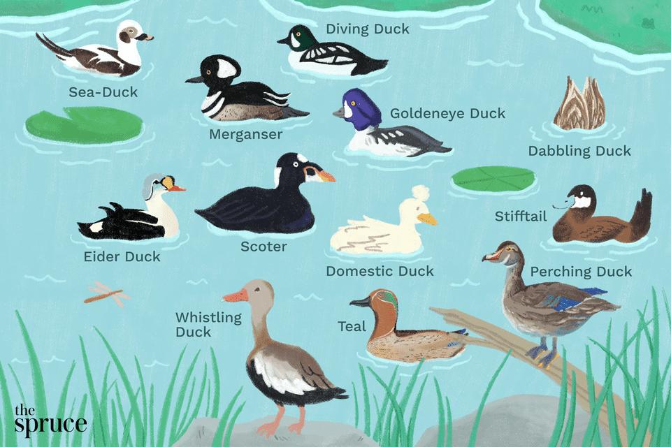 Illustration depicting the twelve types of ducks