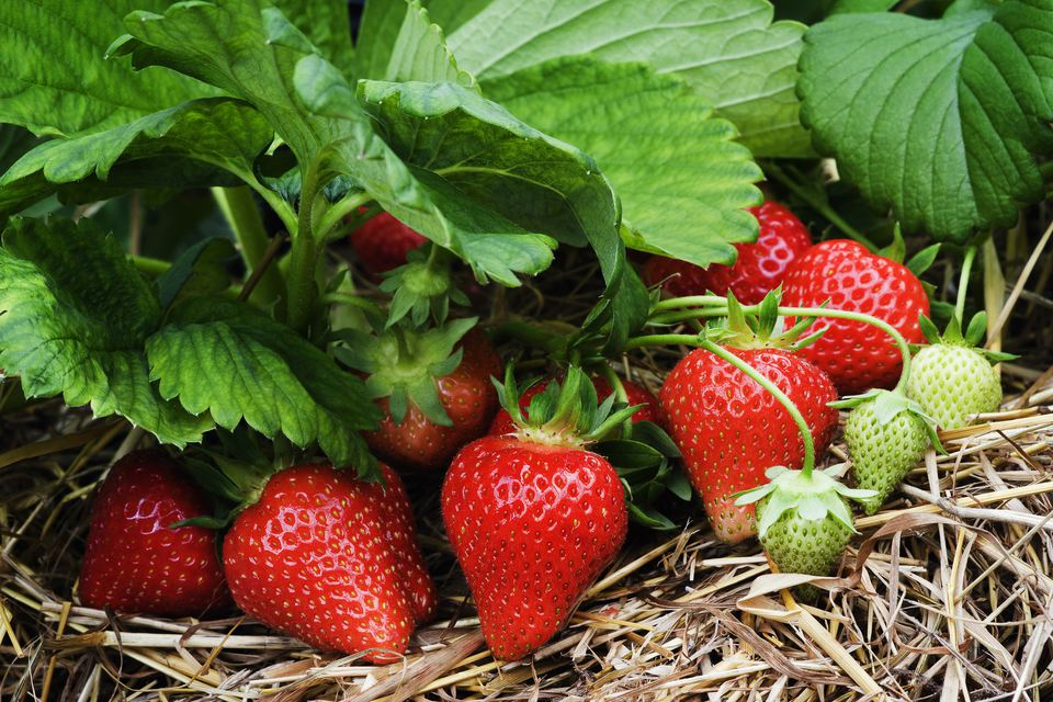 Growing strawberries in the garden