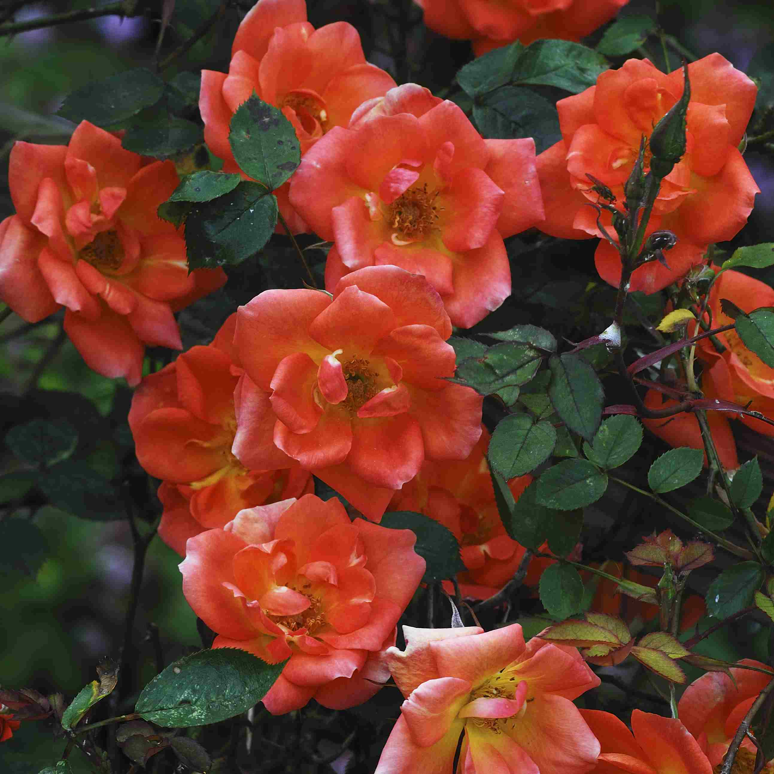 Warm Welcome rose with orange-red blooms