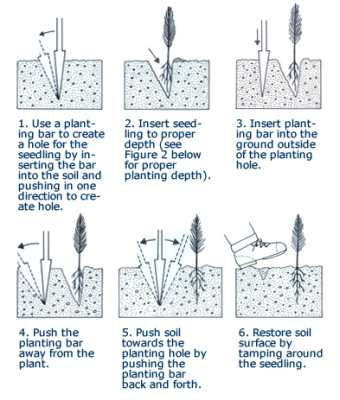 This Ilration Lists 6 Steps You Should Take To Plant Your Bare Root Tree Seedlings Correctly