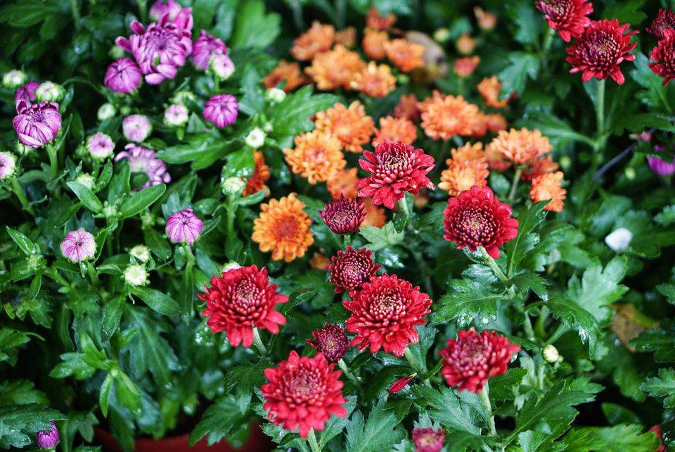 Hardy mum plants with red, orange and purple flowers in garden