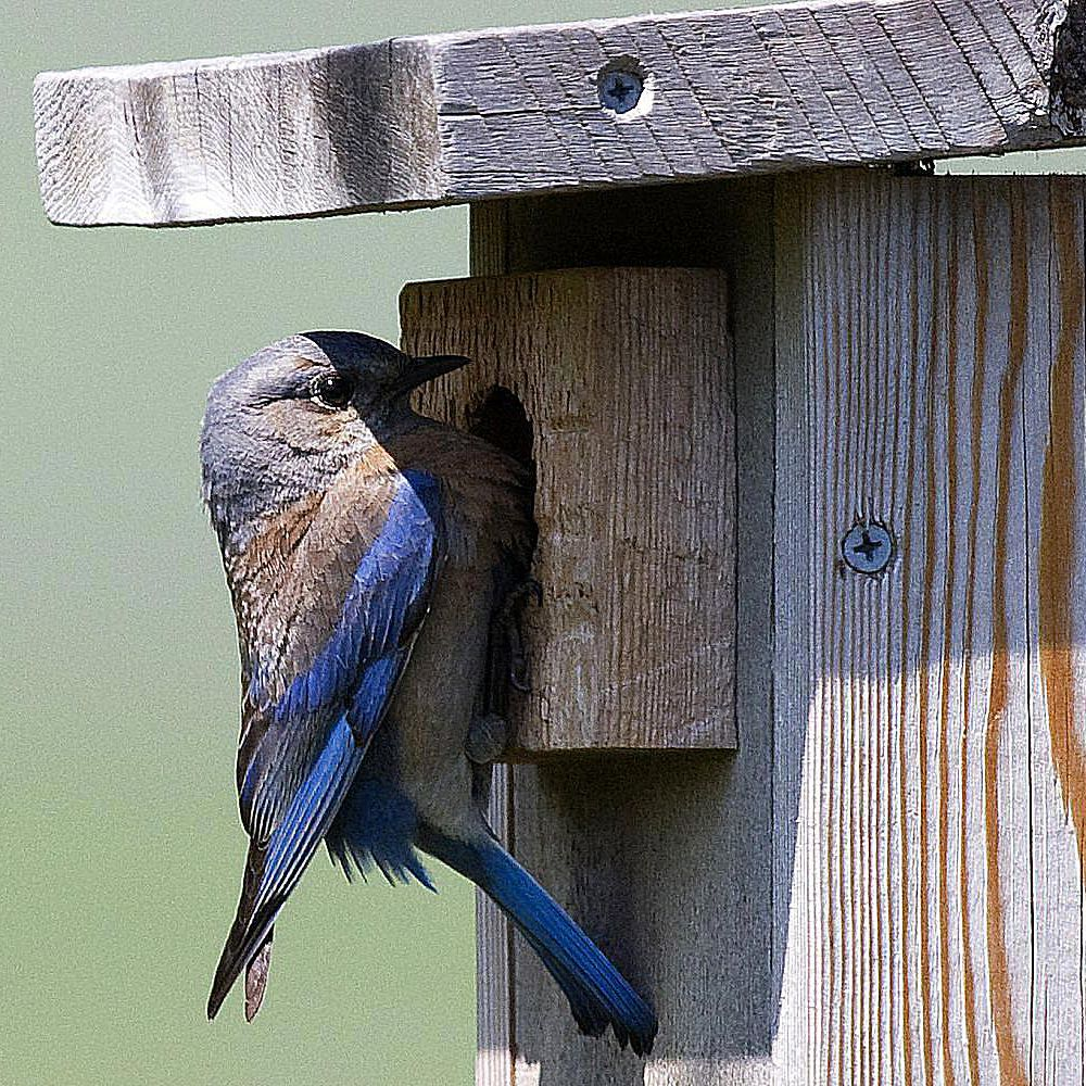 Free Plans For Building A Bluebird House