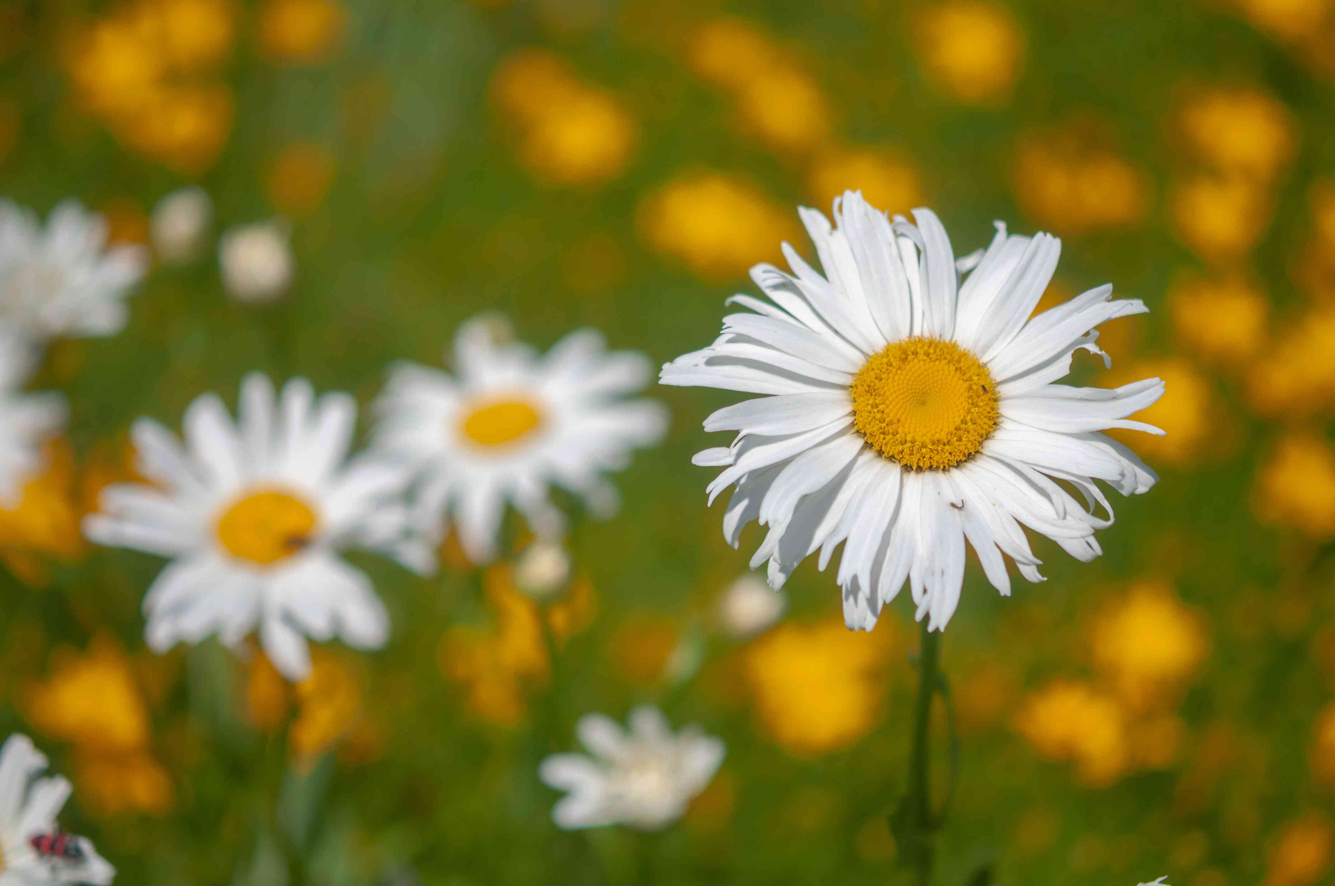 Oxeye daisy flowers with thin white radiating petals on yellow center on thin stems closeup