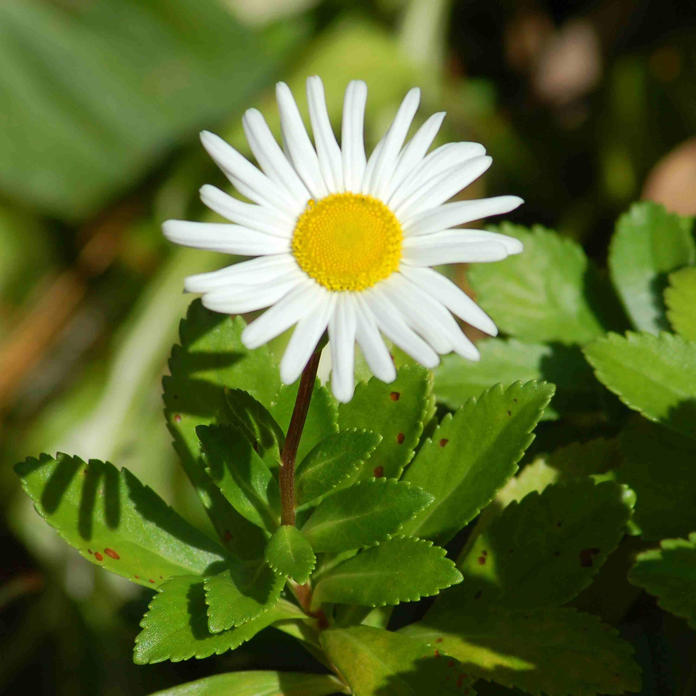 Montauk daisy flower in bloom.