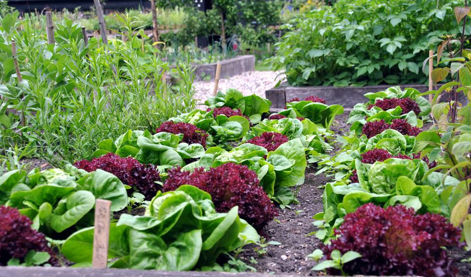 Lettuce growing garden