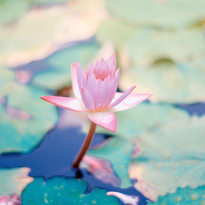 a lotus blooming