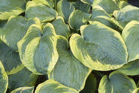 Variegated Leaves Of Frances Williams Hosta Plant