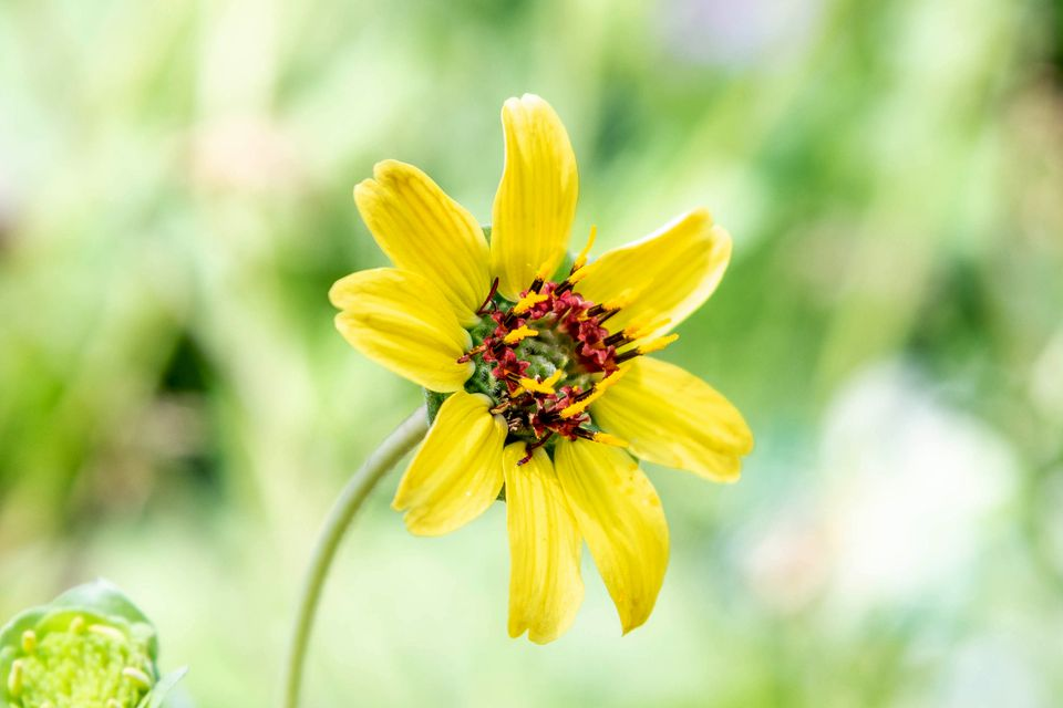 Chocolate daisy flower with small yellow petals with tiny burgundy pollen filaments closeup