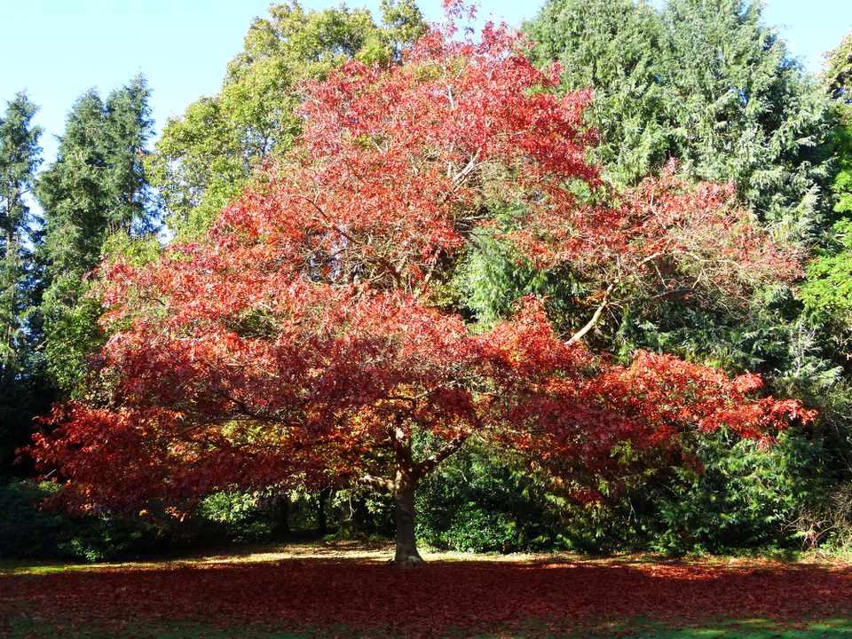 Red oak in autumn