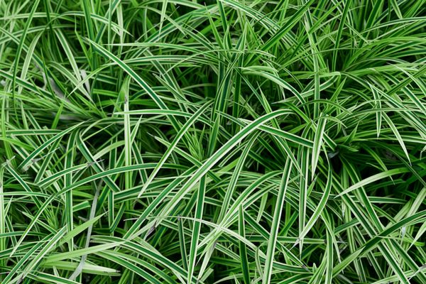 Japanese sedge plant with thin green and white blades closeup