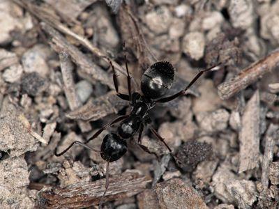Black Field Ant
