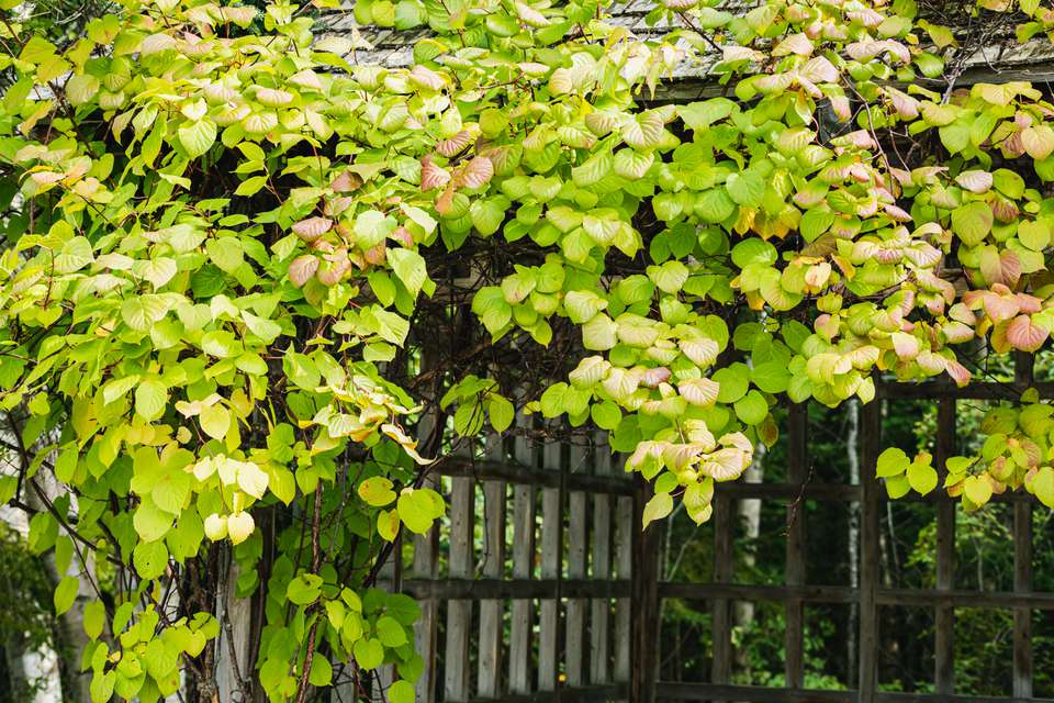 kiwi vine on a fence