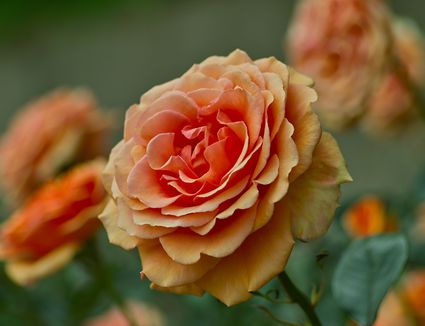 Good Companion Plants For Roses