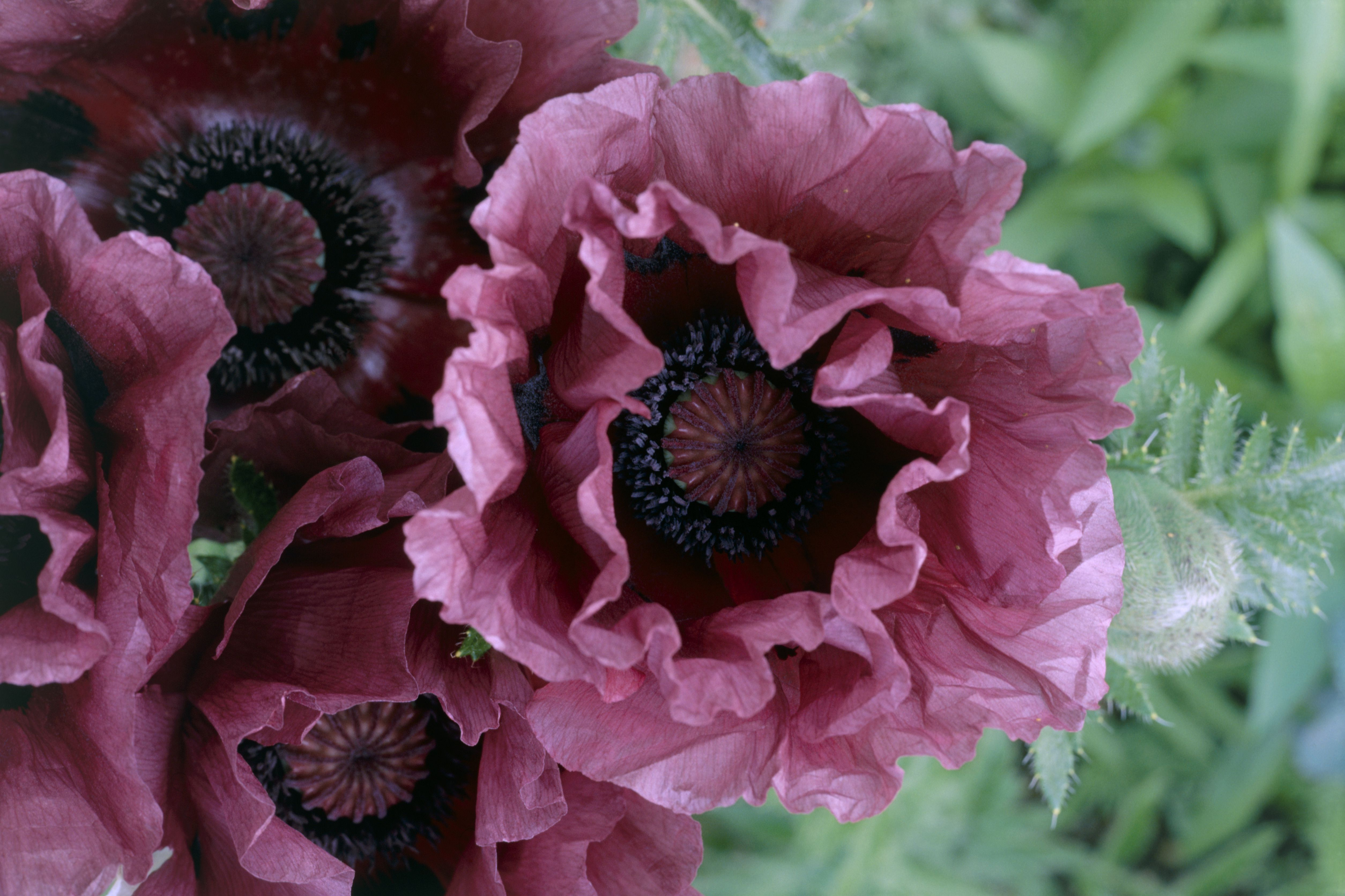 The 11 Best Garden Poppies To Grow In Every Region