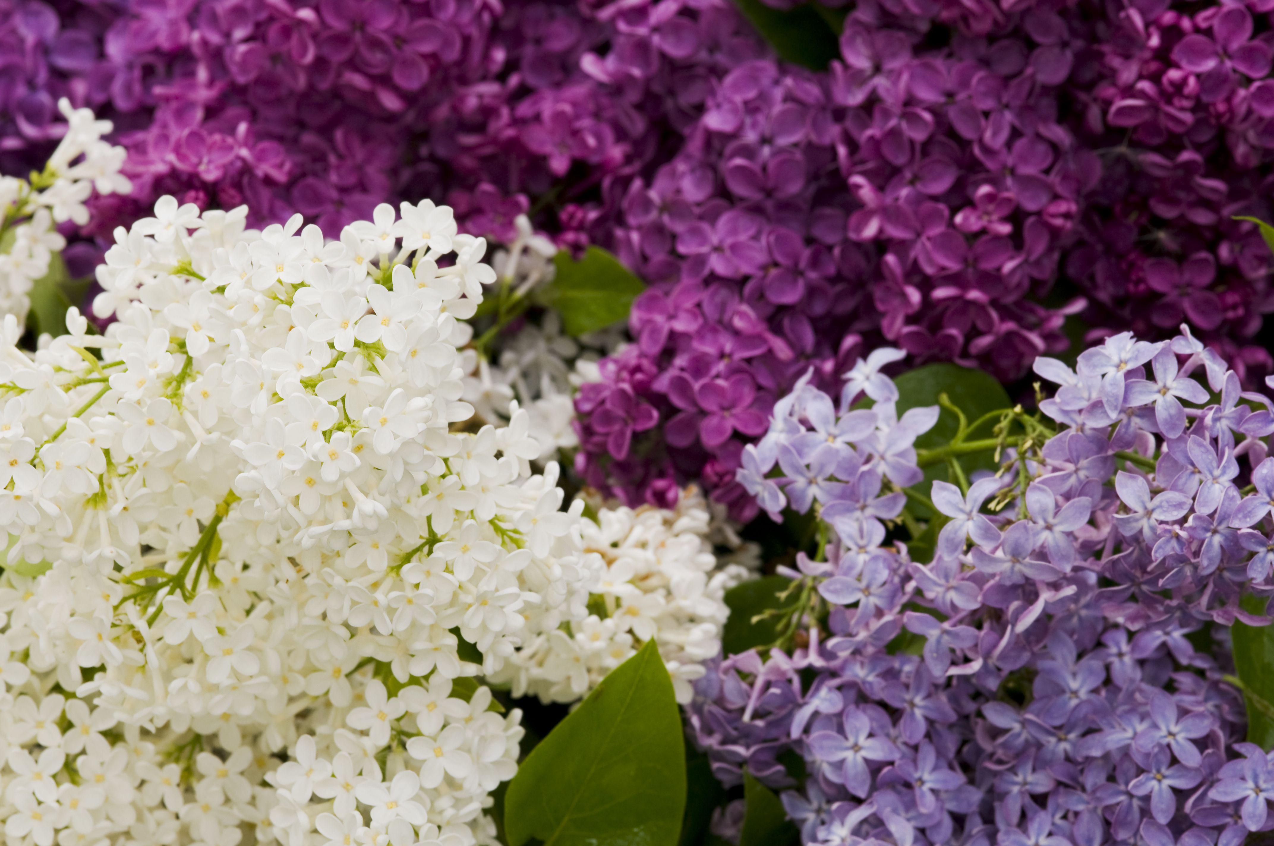15 Beautiful Lilac Varieties